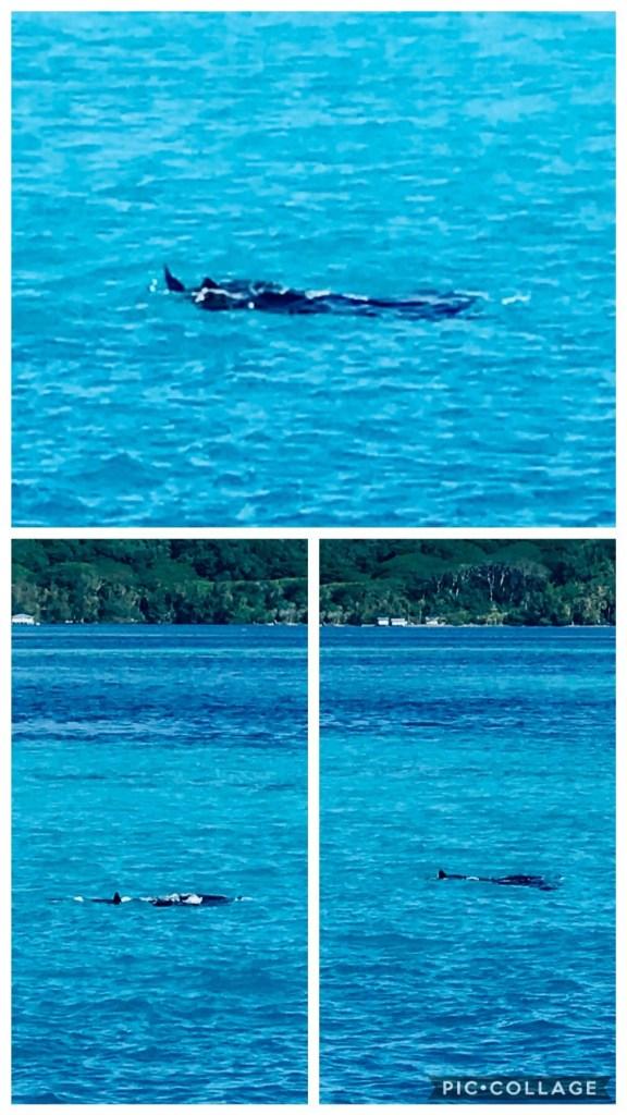Manta Rays swimming by Sugar Shack