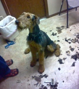 Looking like an Airedale