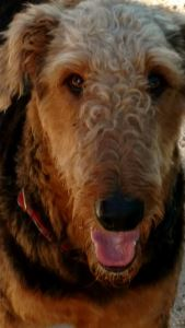 Airedale Edison's Sweet Face
