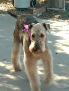 Photo of Airedale