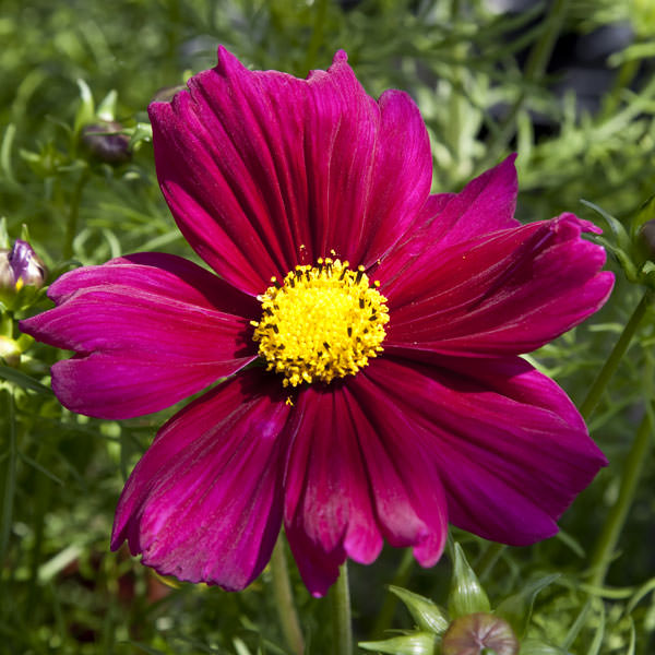 Cosmos Seeds  42 Top Cosmos   Annual Flower Seeds Apollo Carmine cosmos seeds Cosmos Apollo Carmine cosmos