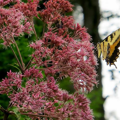 Joe Pye Weed Seeds Perennial Flower Seed Swallowtail