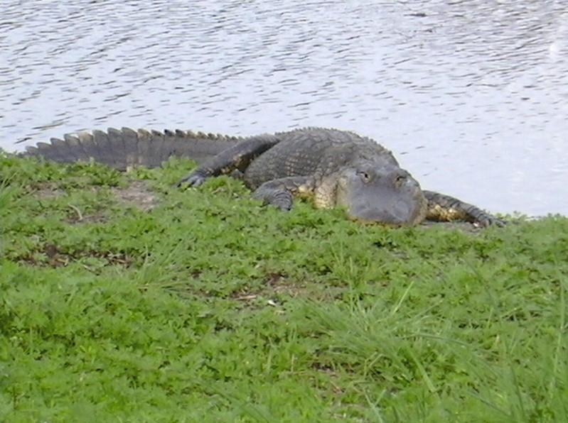 Alligator à Alachua Sink