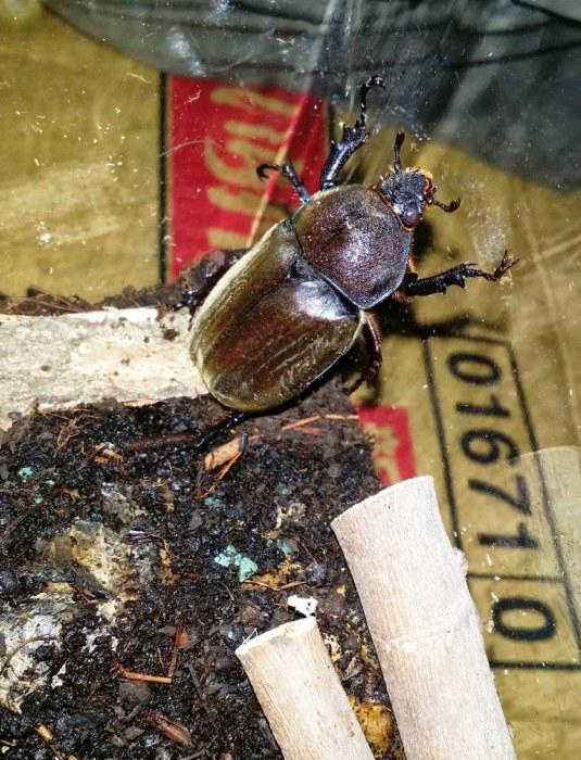 Terrarium pour scarabée rhinocéros - 11