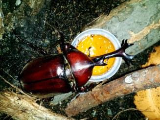 Ah oui, au fait, les scarabées-rhinocéros japonais mangent de la gelée - composée de sucre et d'eau en gros.