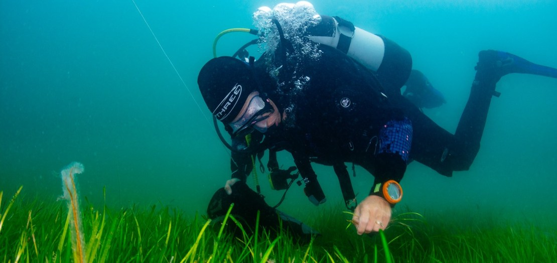 A diver checking seagrass in a seagrass meadow