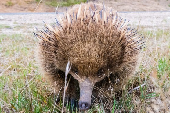 Friendly echidnas!