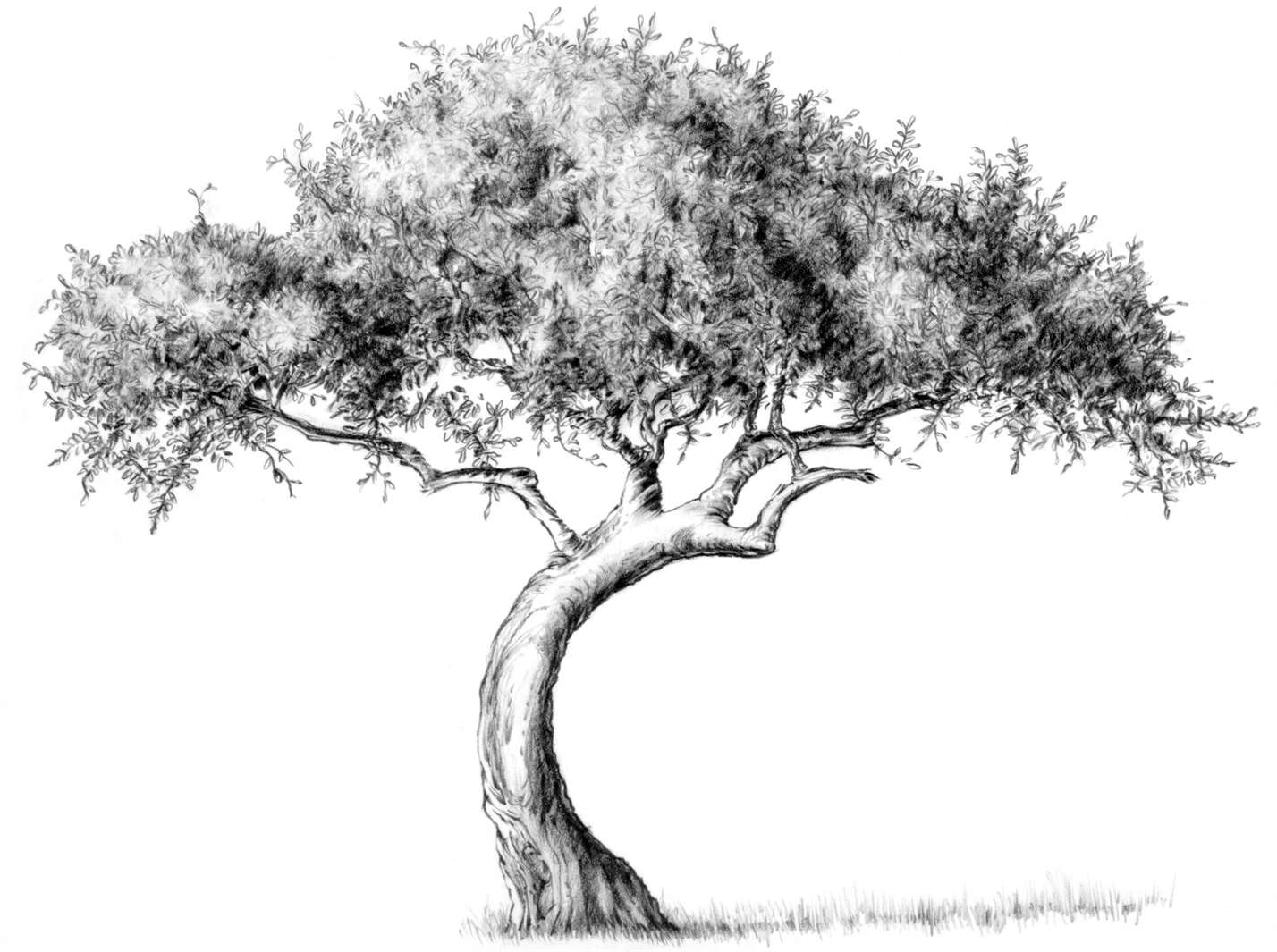 How To Draw A Tree Drawing Tutorials Outline Guades Tips For Artists Art Blog Www Swasky Net
