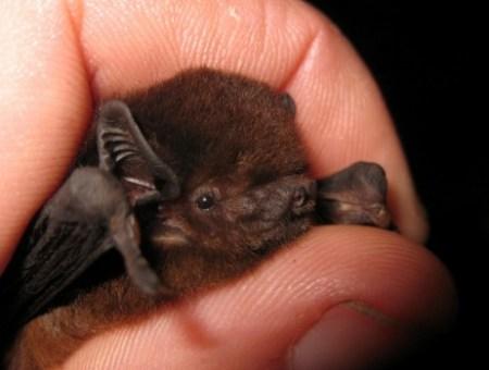 Saving Marlborough's Long Tailed Bats