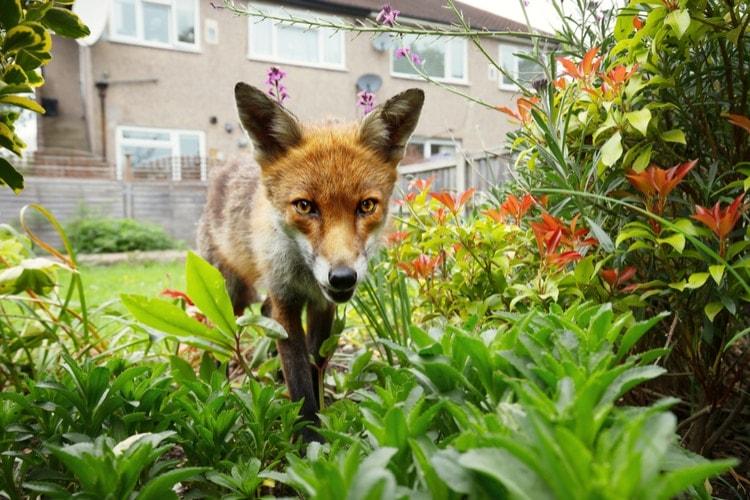 London fox