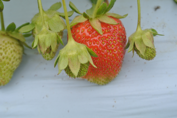 strawberries10