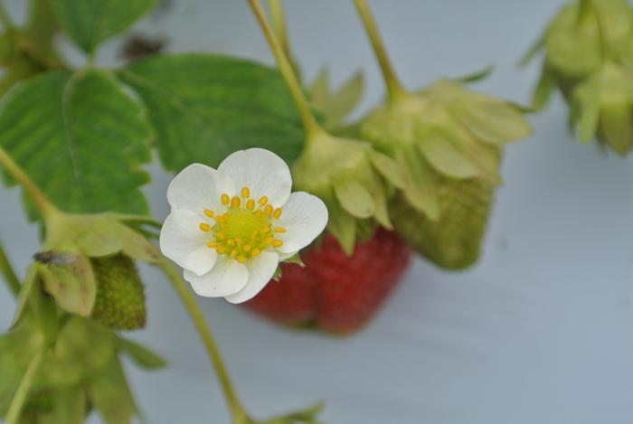 strawberries9