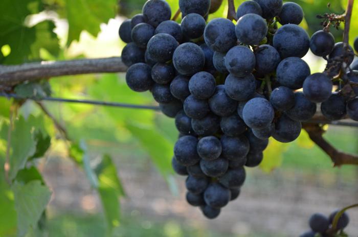 vineyard 8