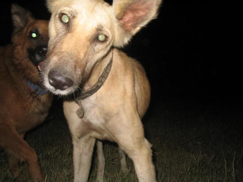 old dog vestibular disease recurrence