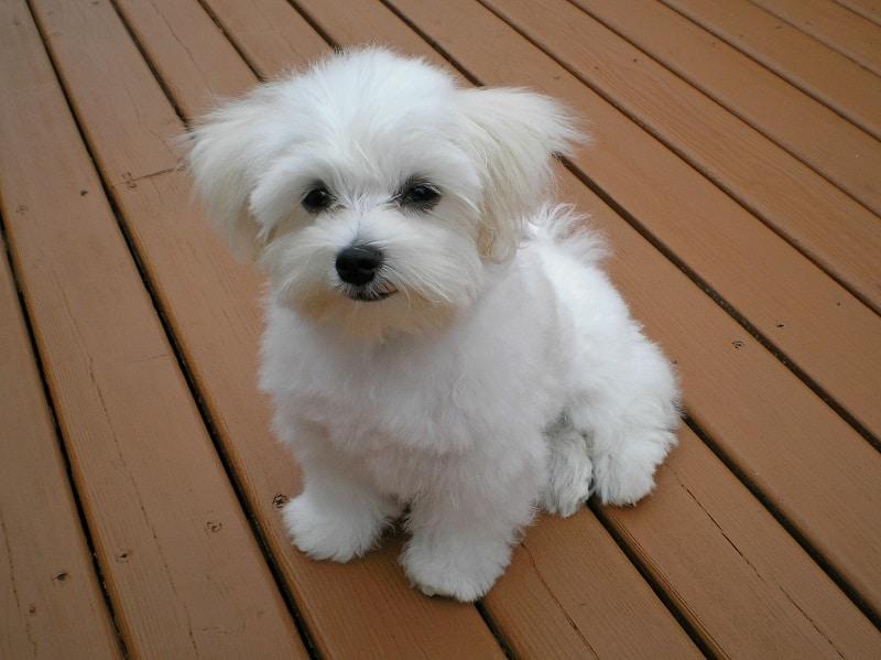 maltese dog health issues