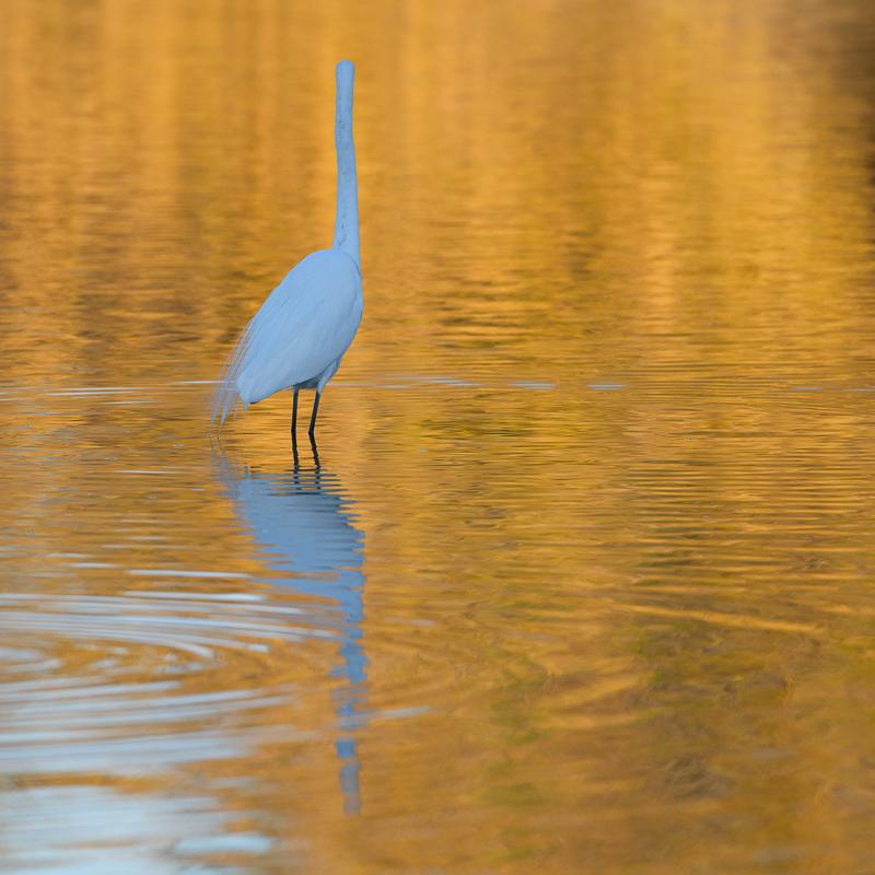 Egret in Orange
