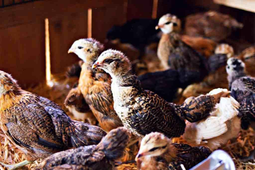 farm chickens | via sweet miscellany