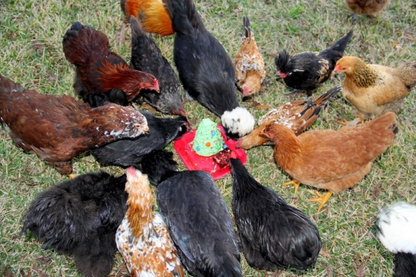 Chickens enjoying Christmas treat