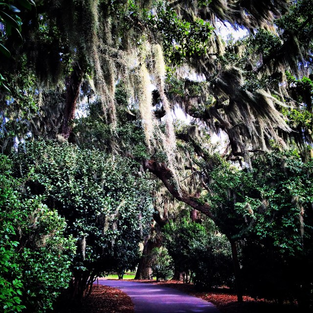 Spanish Moss and Oaks