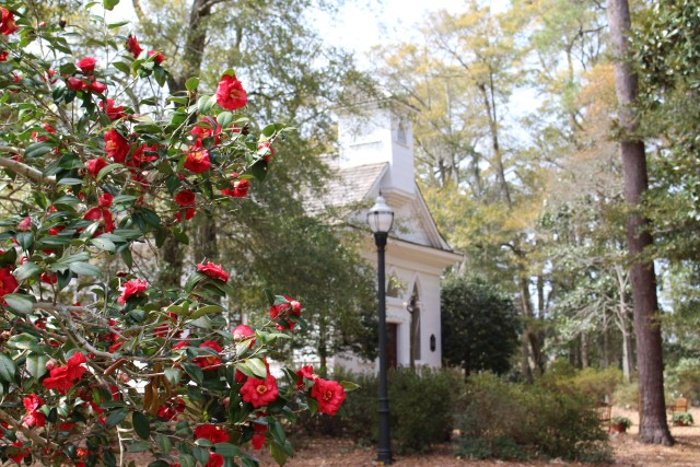 Camellias on the Grounds of the Mt. Lebanon Chapel