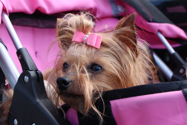 Little Hattie Rose, one of four Yorkies