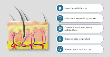 Human Anatomy Skin 2