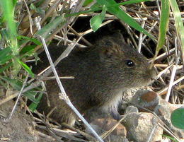 Swift Pest Solutions Mouse In Grass