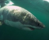 Diver captures 360VR encounter with a great white shark