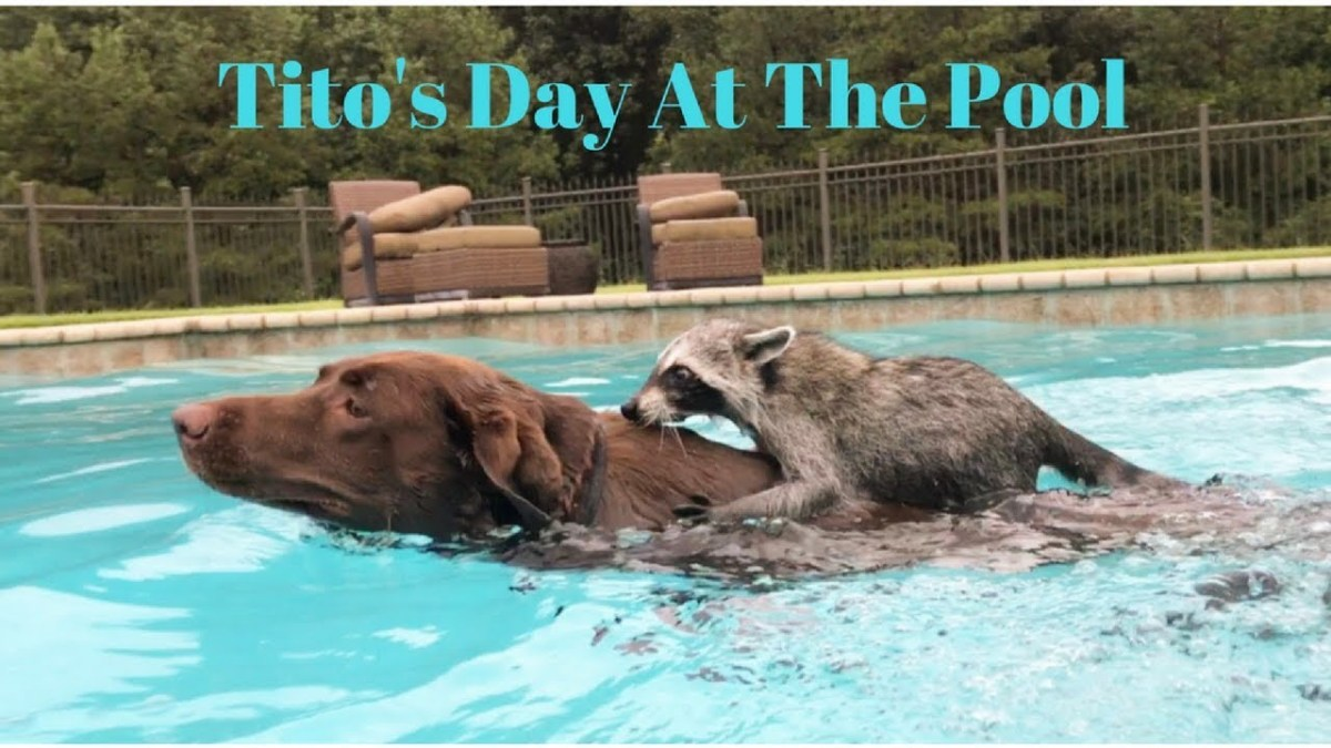 Watch this raccoon give Penny the dog a swimming lesson
