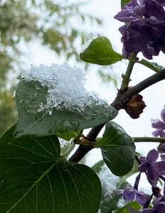 pile of snow on a lilac leaf