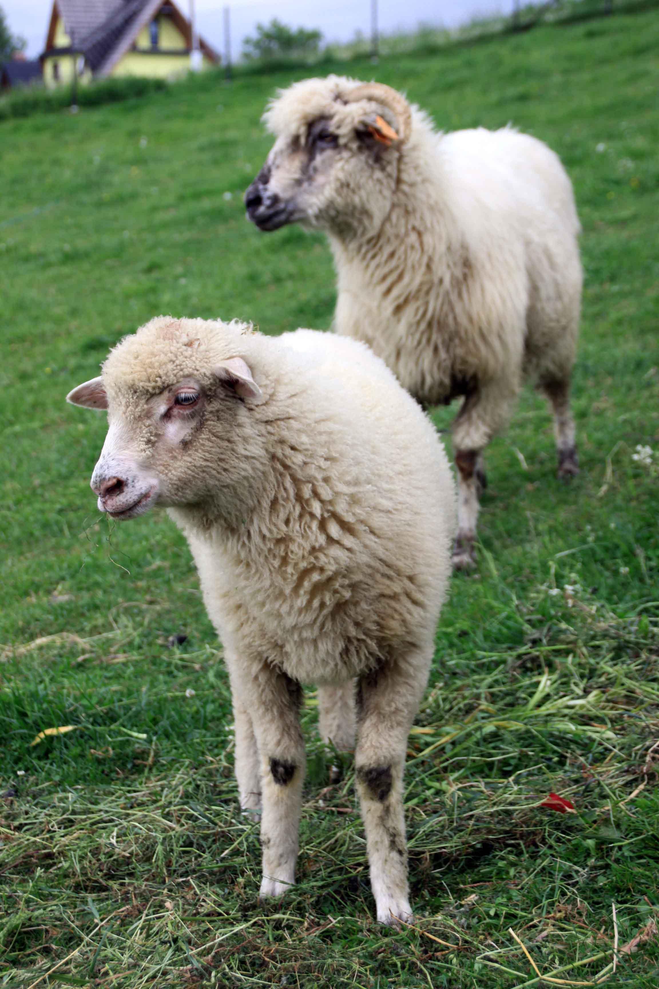 organic sheep wool, 100% natural sheep wool