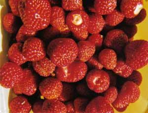 Härliga jordgubbar