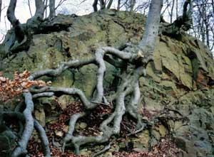 Knotiga rötter vid Tingvalla