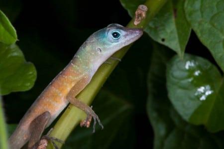 Cet Anolis Pogus de couleurs vives est endémique à un seul île–il ne peut pas être trouvé n'importe où dans le monde que sur St. Martin.