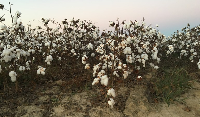 Mississippi Cotton, 2016 ©nmccrary