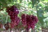 النظام يستعد لتصدير التفاح والعنب السوري إلى روسيا