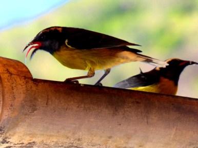 Minivögelchen in Deshaies