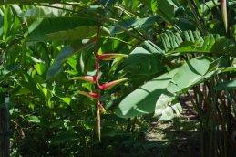 pflanzen-suriname-1396