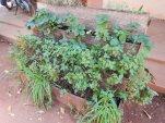 Selbst Erdbeeren wachsen in Uganda!