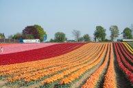 Tulpen bei Grevenbroich