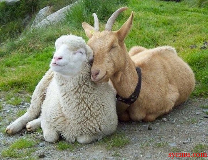 goat and sheep cuddle
