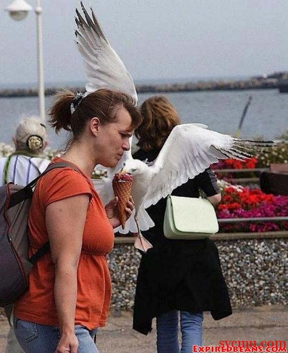 Seagull eating and stealing woman's icecream