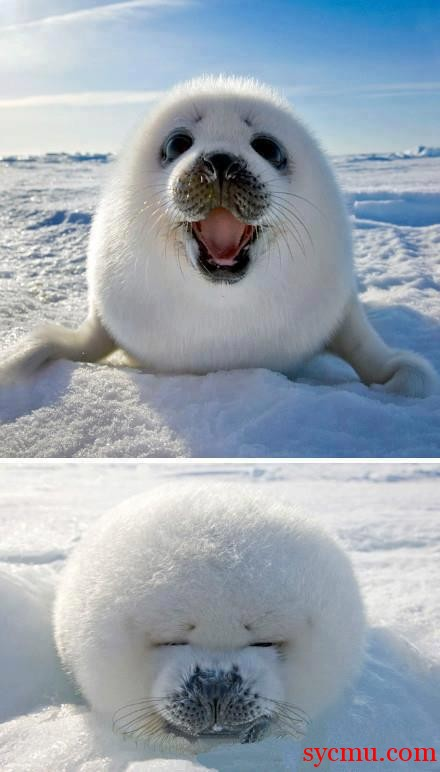 Cutest Arctic seal ever