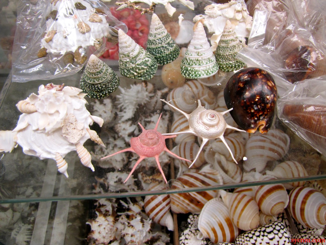 Sanibel Island Ind - assorted shells for sale