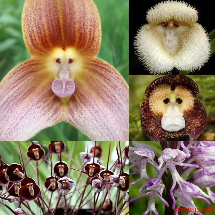 Flowers that look like monkeys