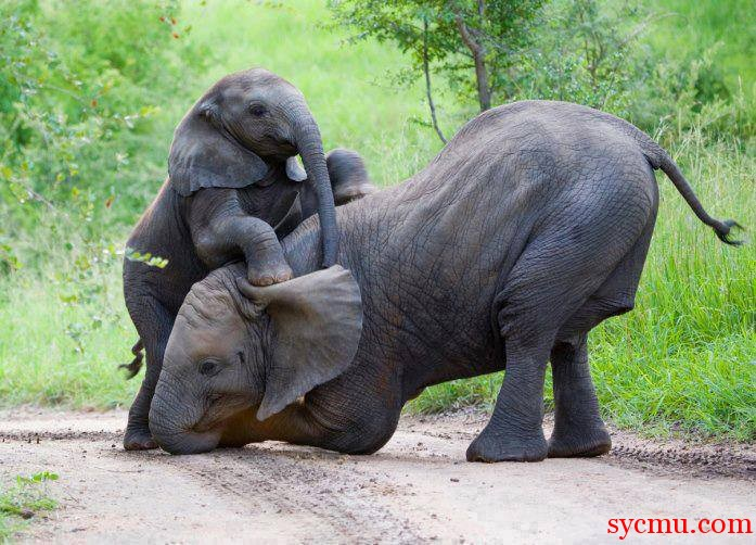 Mother and baby elephant playing