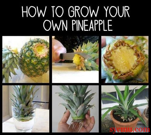 DIY - grow a pineapple at home!