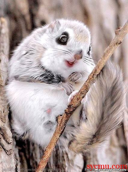 Flying Squirrel Cute