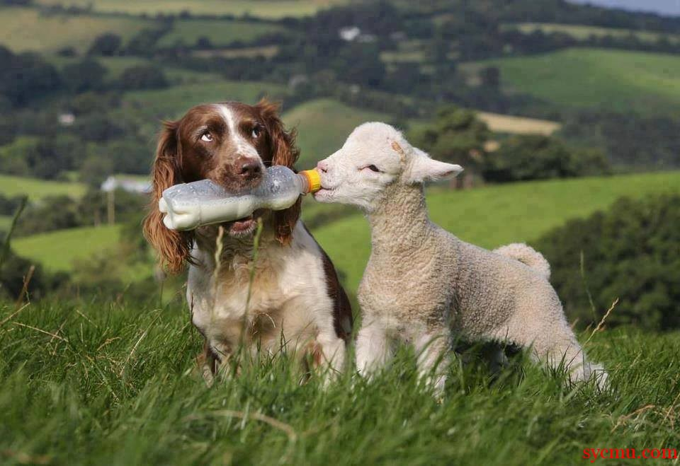 Dog feeds sheep from bottle