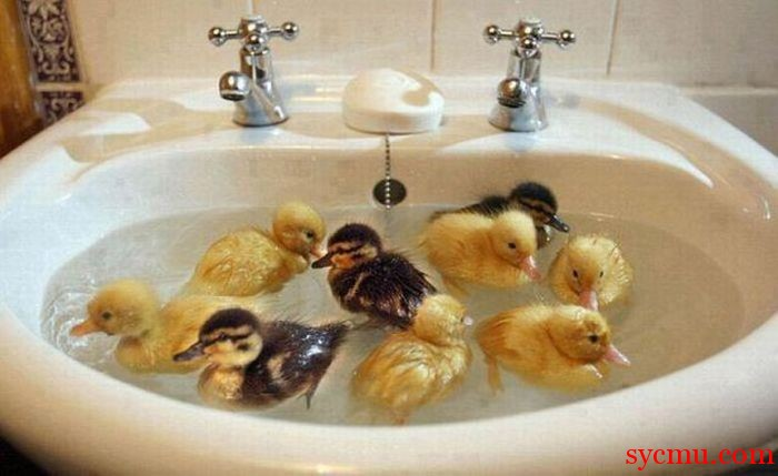 Ducks swimming in sink
